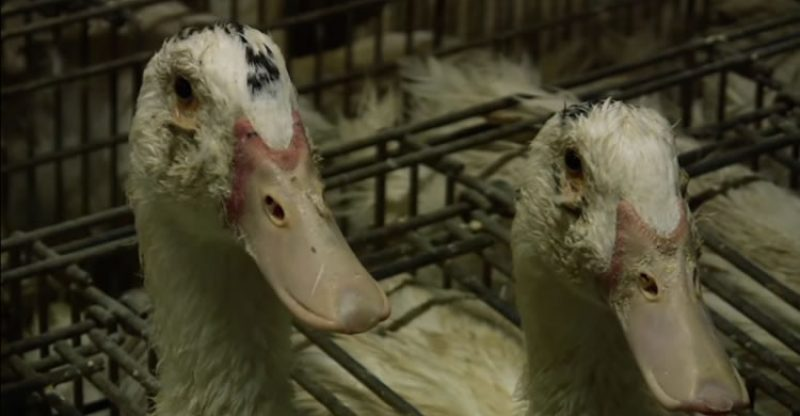 Behind the production of foie gras
